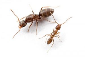 hormiga-argentina