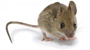 Control de plagas de roedores en Barcelona