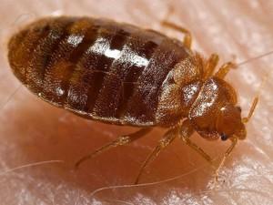 control de plagas de chinches en Sant Adrià del Besòs