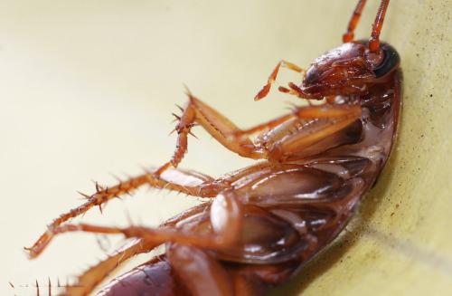 Cucaracha Alemana (Blatella germanica)