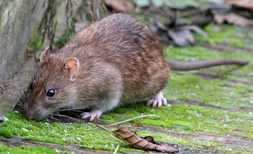 Medidas preventivas contra roedores