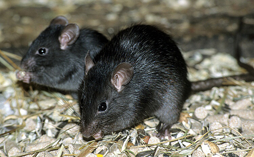 Desarrollo y reproducción de los roedores