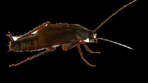 cucaracha-oriental