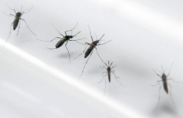 Desarrollan una trampa para combatir al Aedes aegypti