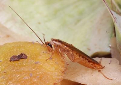 Medidas preventivas para el control de las cucarachas