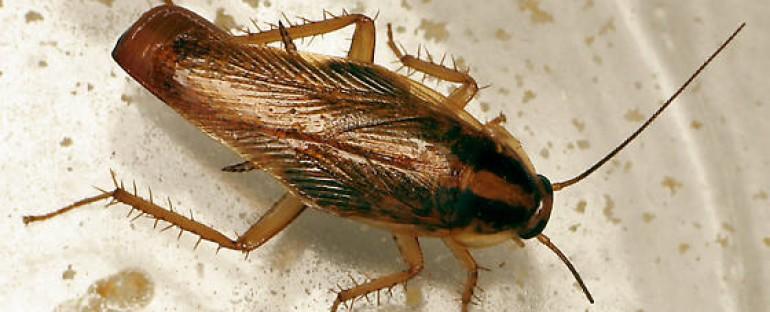 Las cucarachas son la plaga más numerosa en España