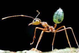 Hormigas que combaten las plagas