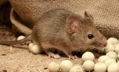 Curiosidades sobre el ratón doméstico