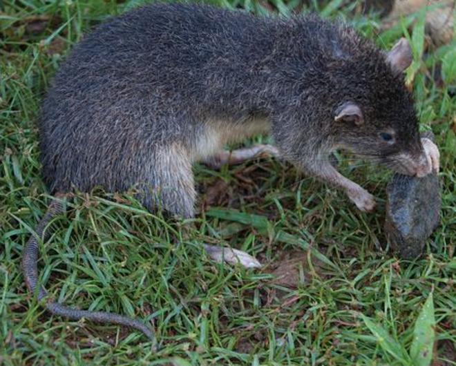 Descubren una rata gigante que ha jugado al escondite miles de años