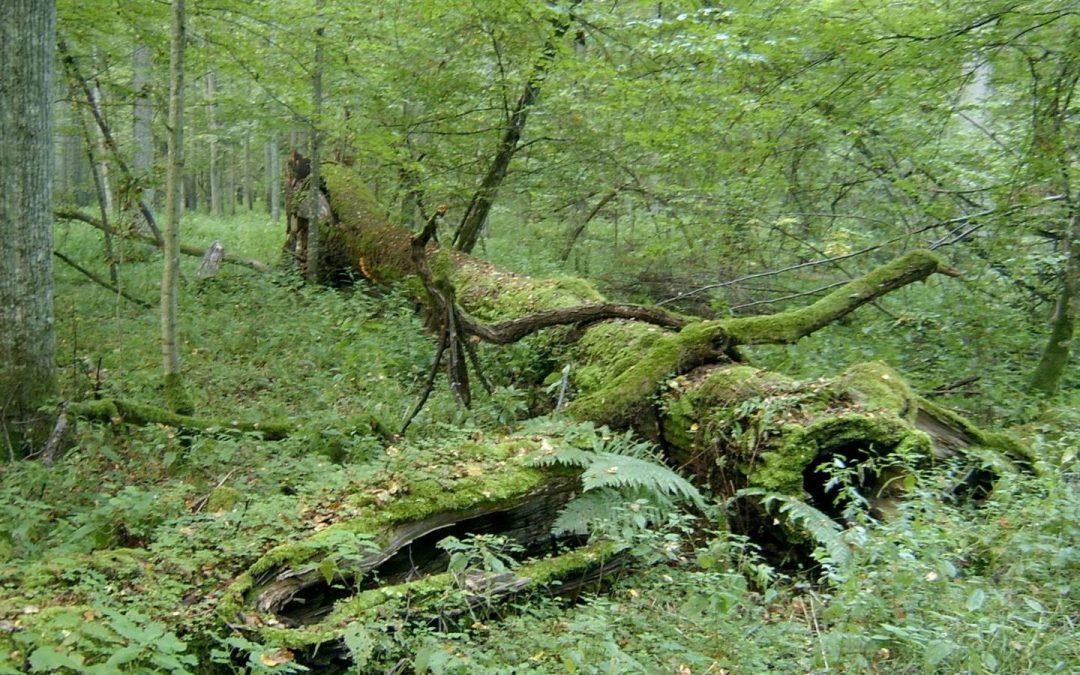 Un bosque milenario que no puede con una plaga de escarabajos