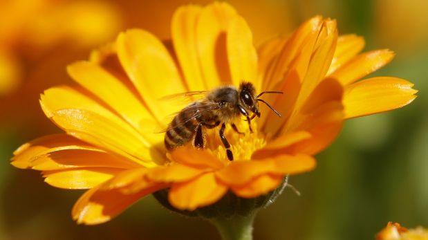 Las abejas de Isla de Pascua, únicas en el mundo