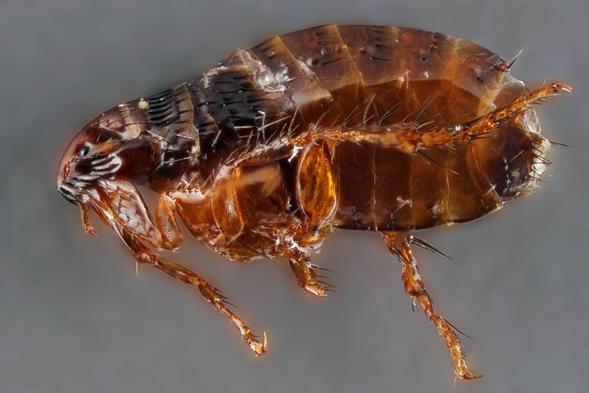 Sin defensas ante una plaga de pulgas
