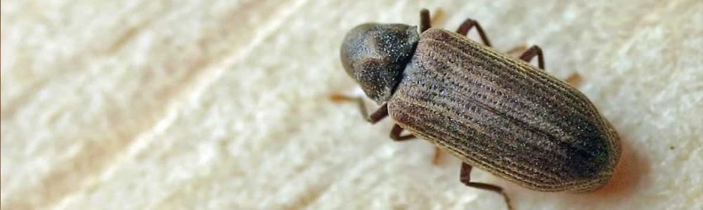 El Consorci Forestal impulsa el control biológico de una plaga que afecta los alcornocales