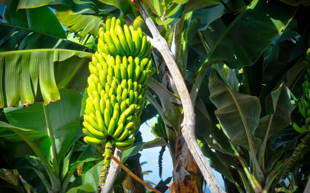 La UA busca soluciones para frenar las plagas que amenazan el plátano a nivel mundial