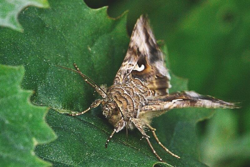 La plaga de polilla pone en riesgo las plantanciones de pimiento