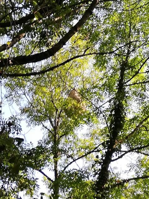 Un nido de avispa asiática de más de un metro en La Riera