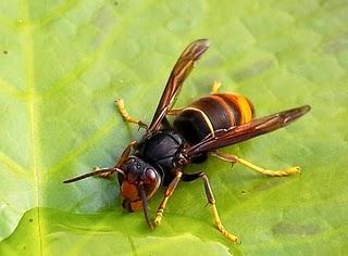 Cómo diferenciar una «vespa velutina» del resto