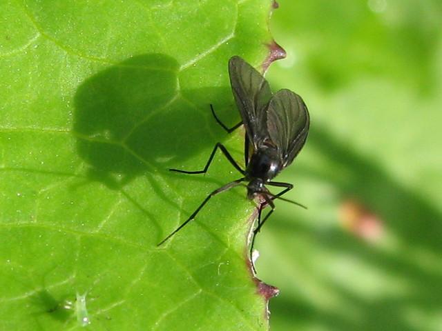 La plaga de la mosca negra invade los ríos españoles