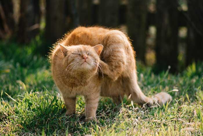 Cs alerta de «una plaga de ratas y gatos con pulgas» en La Oliva
